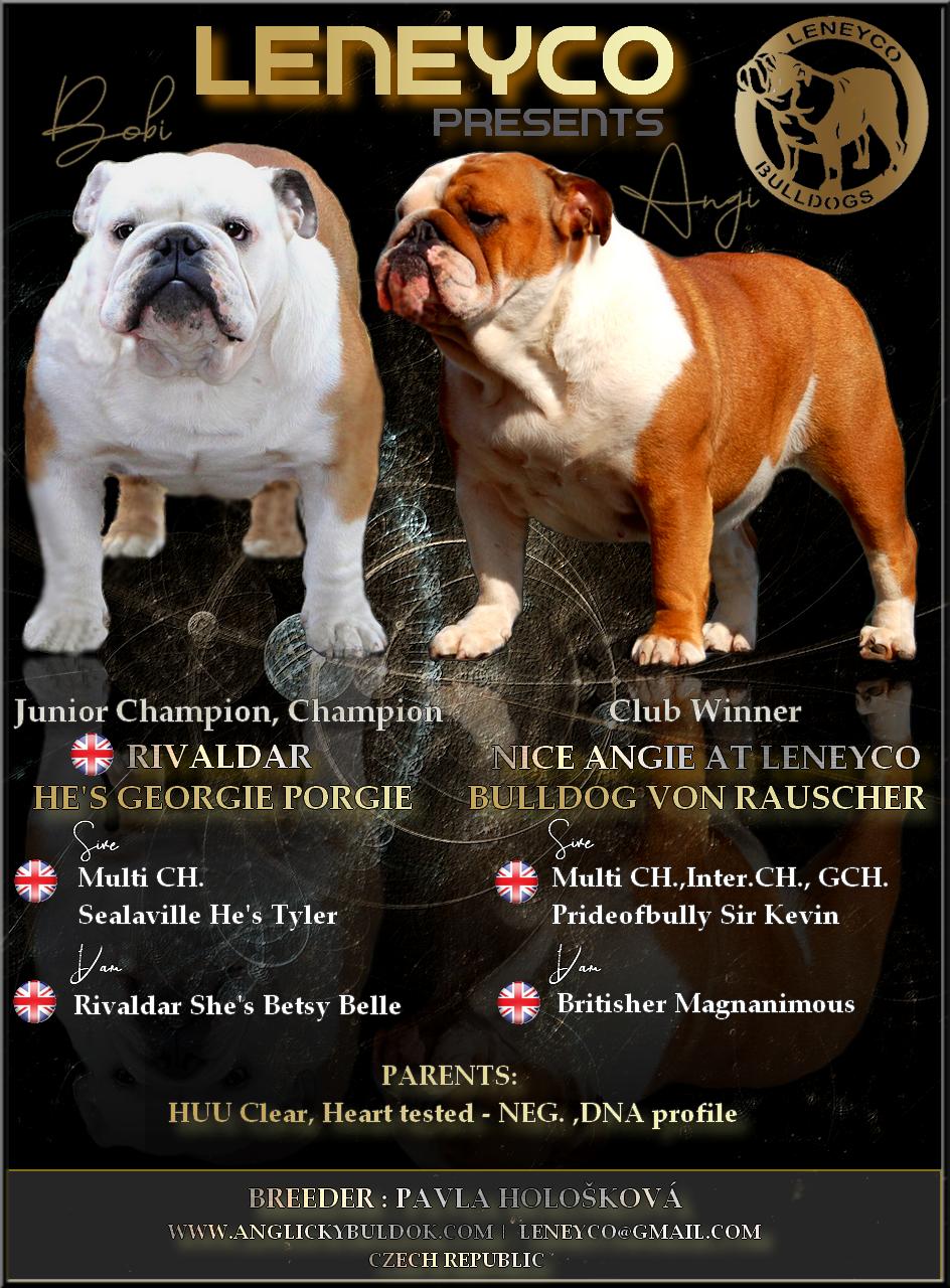 Leneyco bulldog anglický buldok štěňátka bulldog puppies