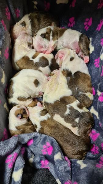 Leneyco štěňata anglického buldoka na prodej / Leneyco Bulldog Puppies for sale