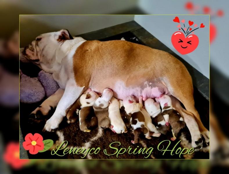 Leneyco Bulldog Puppies / Anglický buldok štěňata